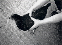 Handling poultry 1