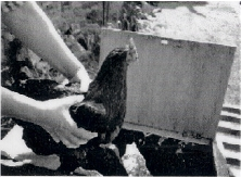 Handling poultry 3